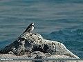 White Wagtail (Motacilla alba) (15272680554).jpg