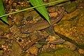 Whitespotted Catfish (Clarius fuscus)? (5780286957).jpg