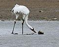 Whooping crane (7013874965).jpg