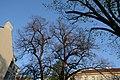 Wiener Naturdenkmal 456 - Sommerlinde (Währing) g.JPG