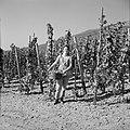 Wijnkoningin Mosella poseert met een emmer druiven in de wijngaard, Bestanddeelnr 254-4183.jpg