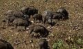 Wild Boars by N A Nazeer.jpg
