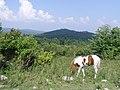 Wild Pony in Grayson Highlands (7414563468) (2).jpg