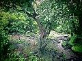 Wild tree.JPG