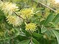 Willow (Salix sp.) near my higher elevation campsite at Custer State Park, Pahá Sápa (Black Hills), South Dakota - Flickr - Jay Sturner.jpg