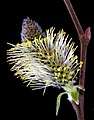 Willow Catkin 01.jpg