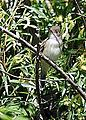 Willow Flycatcher (14338702142).jpg