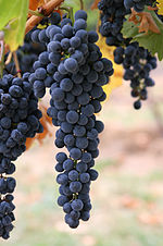 People first began fermenting grapes in animal skin pouches to create wine during the Paleolithic.