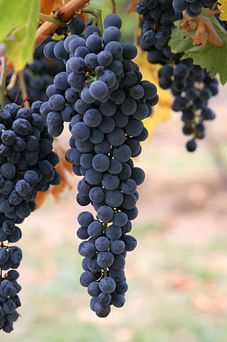 Grape - Wine grapes on the vine