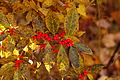 Winterberry Holly Ilex verticillata 'Winter Red' Berries 3008px.jpg