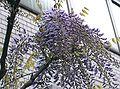 Wisteria floribunda9.jpg
