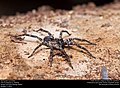 Wolf spider (Lycosidae) (25291946989).jpg