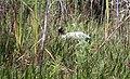 Wood stork, Big Cypress National Preserve, Florida - panoramio.jpg