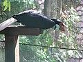 Wreathed hornbill (7856799416).jpg