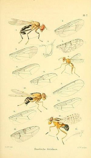 Ulidiidae - Tropical Ulidiidae