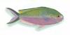 XRF-Lepidozygus tapeinosoma