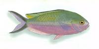 XRF-Lepidozygus tapeinosoma.png