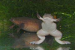 Western clawed frog - Wikipedia, the free encyclopedia