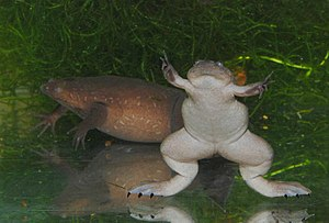 Western clawed frog - Image: Xenopus tropicalis 02