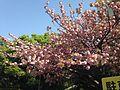 Yae-Zakura Cherry Blossoms in Kaizuka Campus, Kyushu University 6.JPG