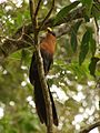 Yellow-billed Malkoha at Mt. Mahawu.jpg
