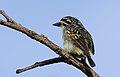 Yellow-fronted tinkerbird, Pogoniulus chrysoconus, at Walter Sisulu National Botanical Garden, South Africa (15980738006).jpg