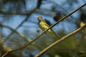 Yellow-green Vireo - Panama MG 2126 (23015713201).jpg