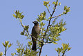 Yellow-vented bulbul - Pycnonotus xanthopygos 01.jpg