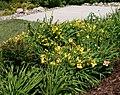 Yellow Daylilies.jpg