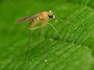 <i>Neurigona disjuncta</i> Species of fly