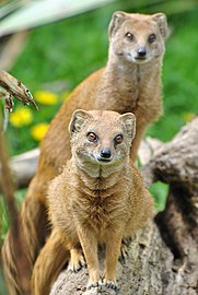 Yellow Mongoose (7006325750) (2).jpg
