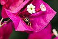 Yellowjacket on a bougainvillea.jpg