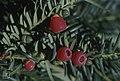 Yew berries, Llandaff, September 1977 (30720464780).jpg