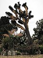 Yucca filifera Monaco.jpg