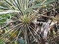 Yucca glauca subsp. albertana fh 1179.72 Canada in cultur in der Sammlung F. Hochstatter BB.jpg