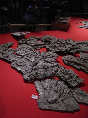 Yutyrannus - Fossils on display