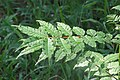 Zanthoxylum rhetsa leaves 1.jpg