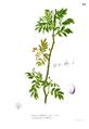 Zanthoxylum sp Blanco1.23.png