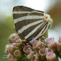 Zebra-striped Hairstreak (16657203932).jpg