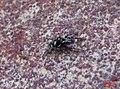 Zebra spider 2 (fp) (5648579727).jpg