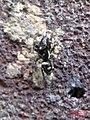 Zebra spider 6 (fp) (5648579747).jpg