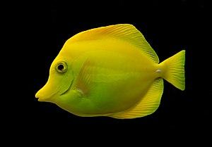 Yellow tang - Image: Zebrasoma flavescens Luc Viatour