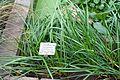 Zephyranthes minuta (Zephyranthes grandiflora) - Botanischer Garten - Heidelberg, Germany - DSC01256.jpg