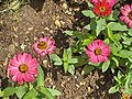 Zinnia angustifolia Profusion Cherry.JPG