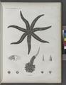 Zoologie. Echinodermes. Astéries (NYPL b14212718-1268606).tiff