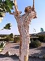 """Apple of Sodom"" פתילת המדבר הגדולה - תפוח סדום - panoramio.jpg"