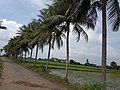 """coconut tree's.jpg"