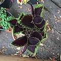 'Giant Exhibition Magma' coleus IMG 0888.jpg
