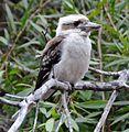 (1)Kookaburra 126.jpg