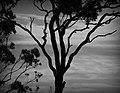 (1)Tree Woodford-1.jpg